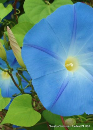 Image: A huge blue morning glory