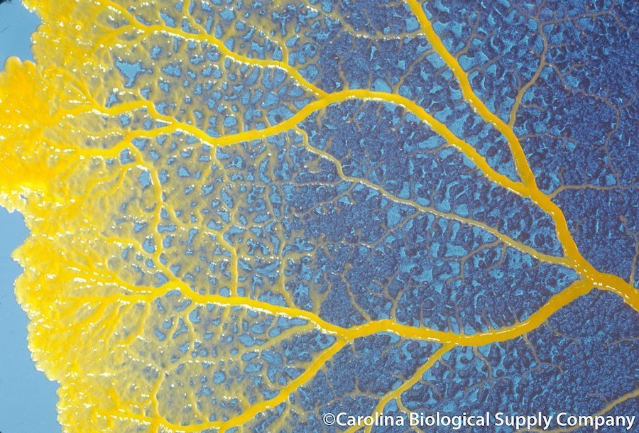 Image: close up image of slime mold
