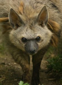 Image: The aardwolf's face close up!