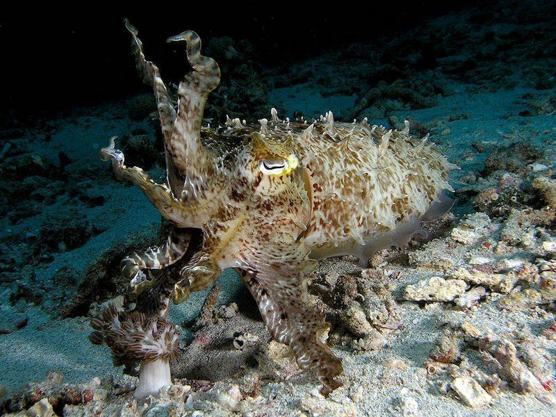 1024px-cuttlefish_komodo
