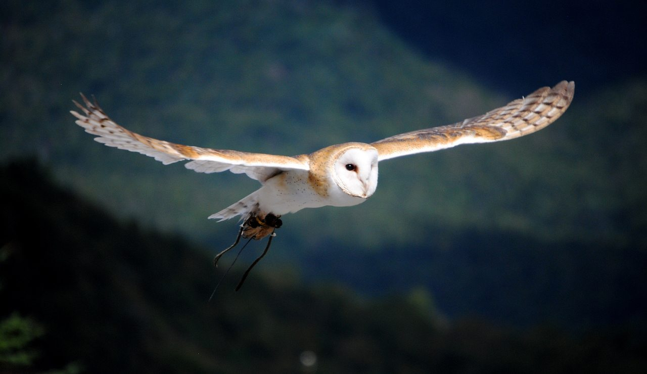 Image: Owl in flight answering how owls fly silently