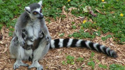 Image: Ring Tailed Lemurs and twins