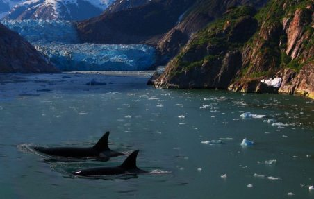 Image: two killer whales in a bay near a glacier