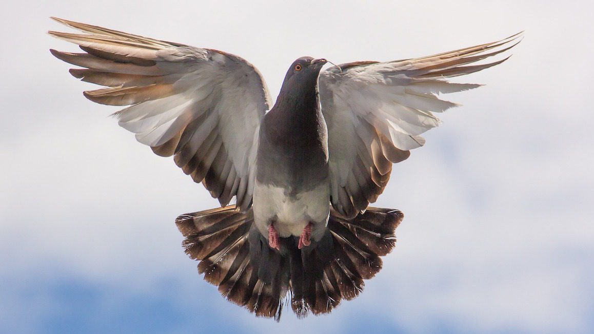 Image: Pigeon in flight. Why appreciate pigeons?