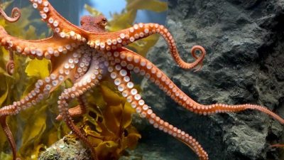 Image: An octopus with it's tentacles facing us--one of the coolest natural innovations of this amazing world