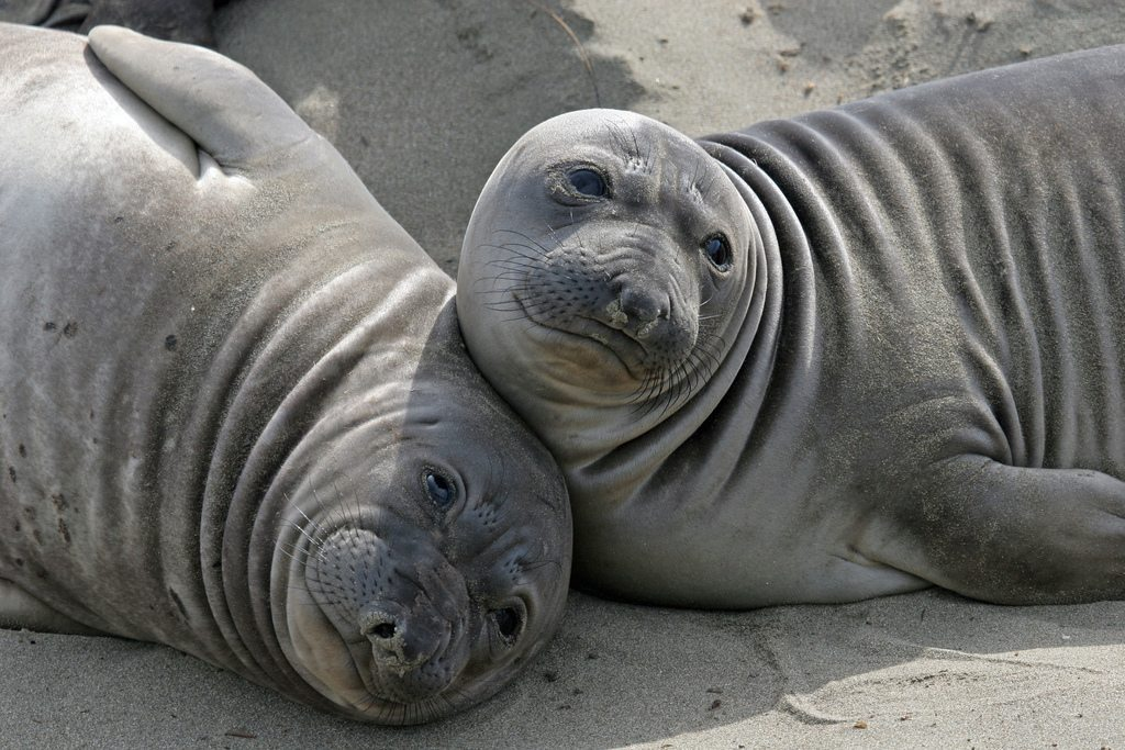 Image: Female Elephant seals avoiding the beach master