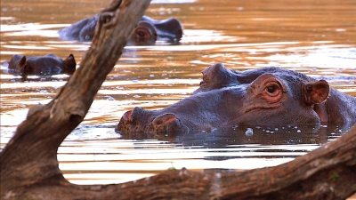 Image: Hippo up close at watering hole