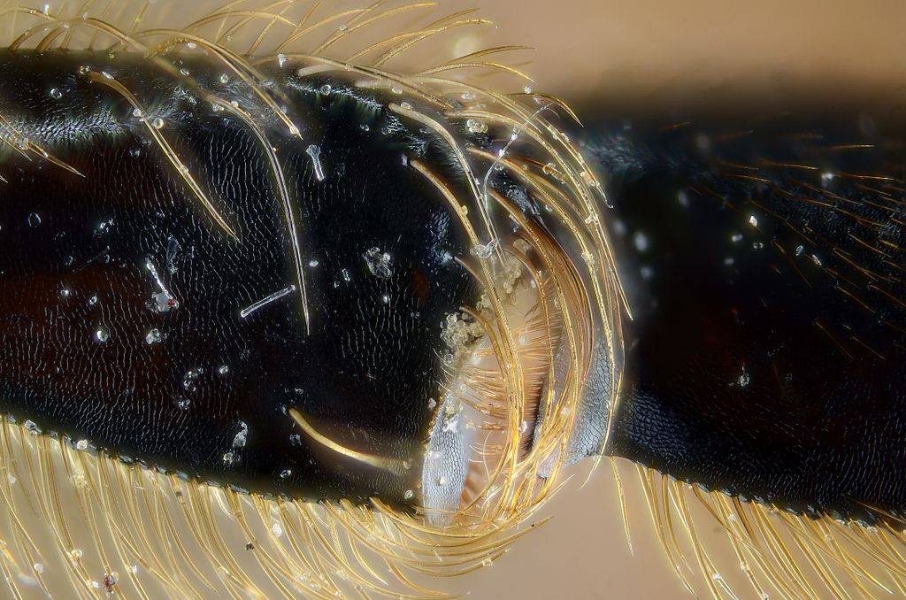 Image: Close-up of a bee's knee designed for collecting pollen