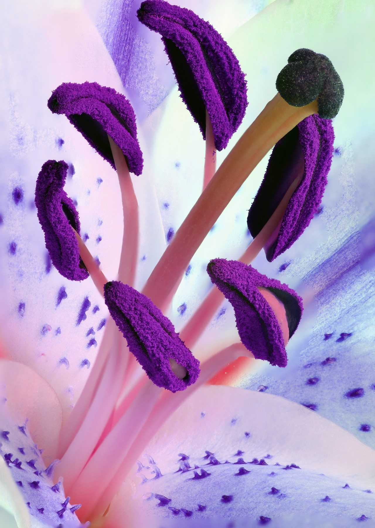 Image: the pollen of a purple iris