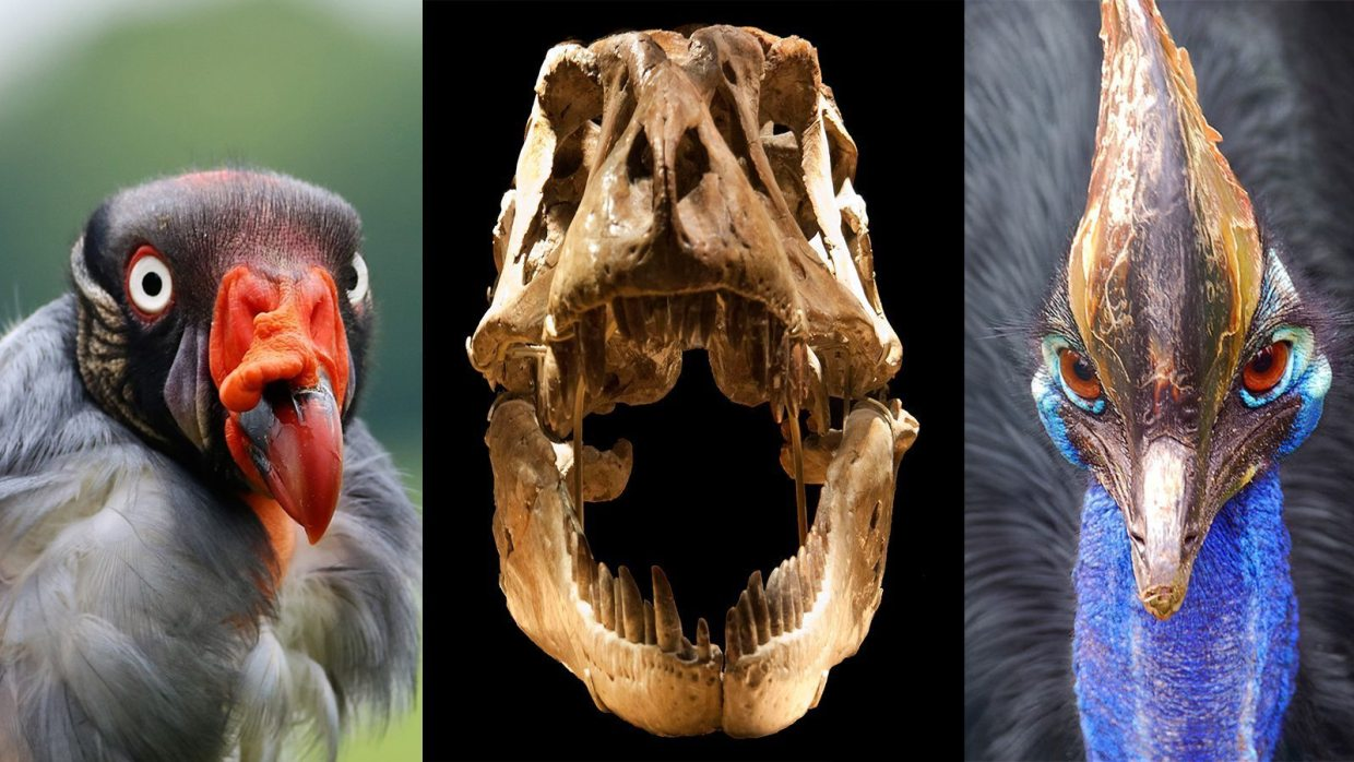 Image: Birds and Dinosaurs from left to right a King Vulture, a T-Rex skull, and a Cassowary
