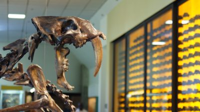 Image: Smilodon skull from the La Brea Tar Pits
