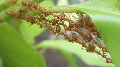 Image: Fire ants clinging together to make a rope bridge for their colony
