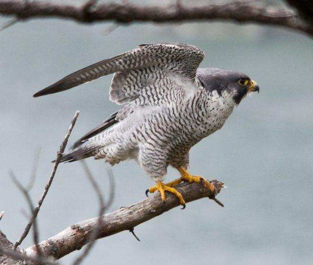 Image Peregrine Falcon The Worlds Fastest Animal On A Branch With Wings Stretched