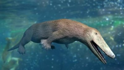 Image: Illustration of Ambulocetus, a fur covered creature the size of a sea lion that was an ancestor of the modern whale