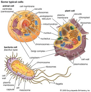 Image: illustration of animal cell, plant cell, and bacteria cell