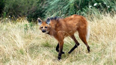 Image: Maned wolf walking through grass