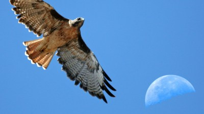 Image: A red tailed hawk flies with the moon in the background