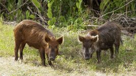 Image: two wild pigs staring at the camera
