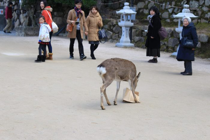 deer miyajima island 700x467 - A day trip to Miyajima from Kyoto, Japan
