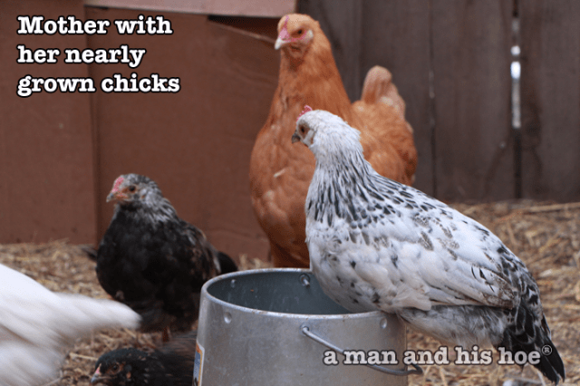 MotherWithNearlyGrownChicks