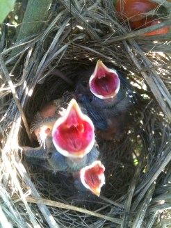 Baby Song Sparrows Hatched