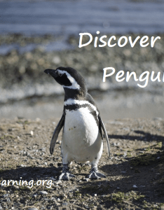 Fairy penguins might be small and adorable but their cousin the emperor penguin can grow up to feet tall weigh about pounds also discover this rh everyday learning