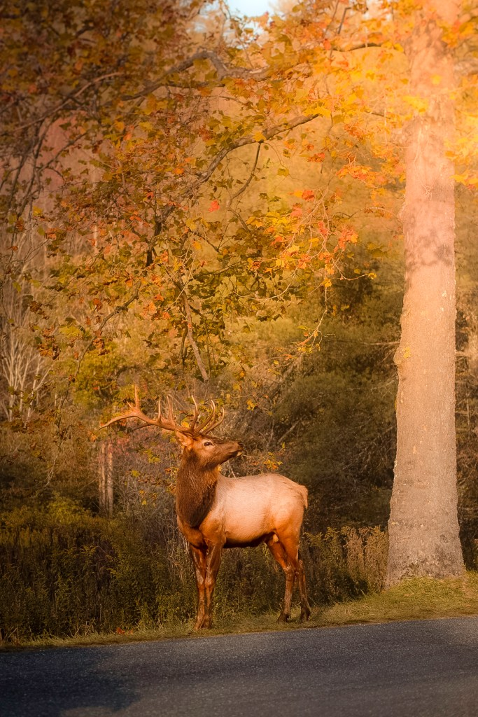 wildlife in the great smoky mountains national park