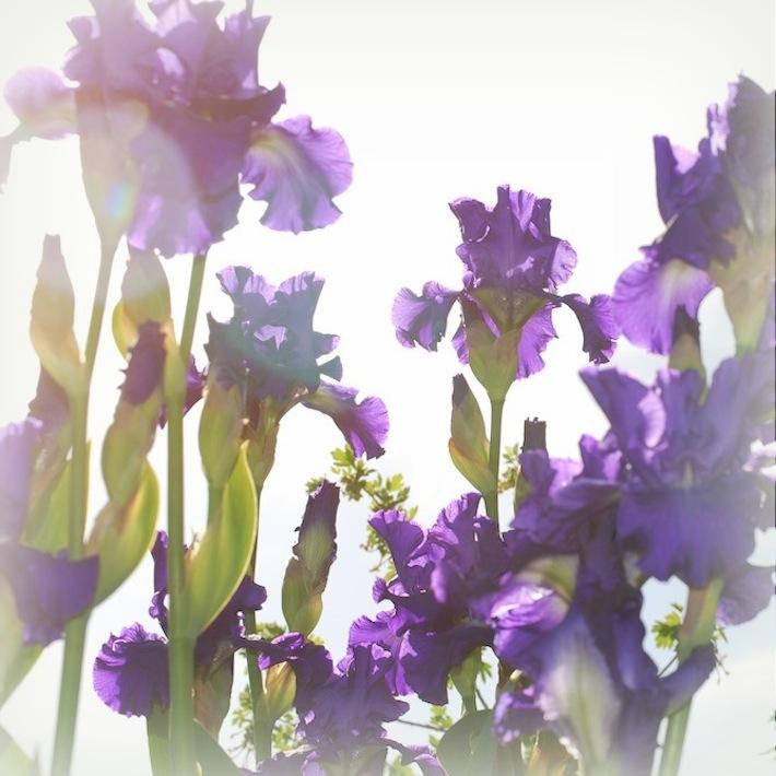 purple irises and peace