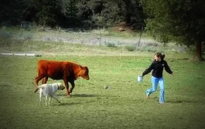 enticing a steer