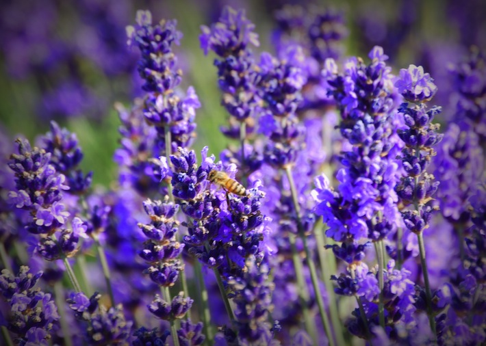 honey bee in lavender