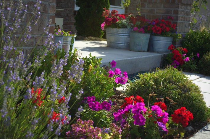 lavender and potted annuals