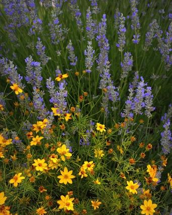 lavender and threadleaf coreopsis