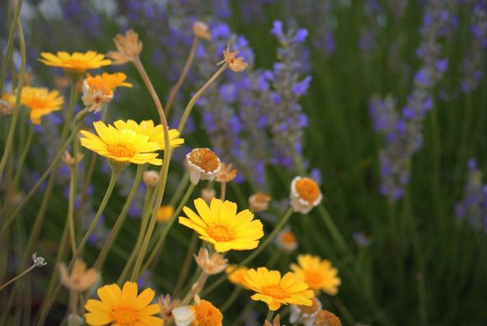 lavender companion: hymenoxys
