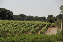 Vineyards of CDP.