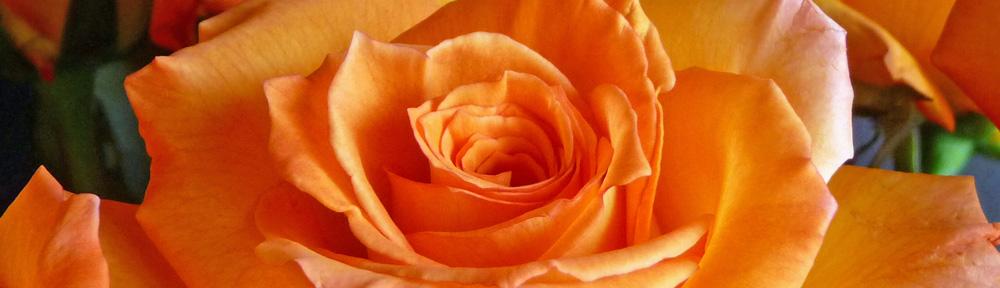 A Birthday Rose (c) jfhaugen