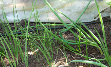 Scallions from Scallions – Gardening Without Seeds
