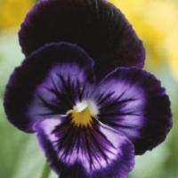Why I Don't Like Pansies
