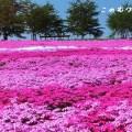 國田家の芝桜と西ケ洞さくら公園 郡上の芝桜の名所 2019版