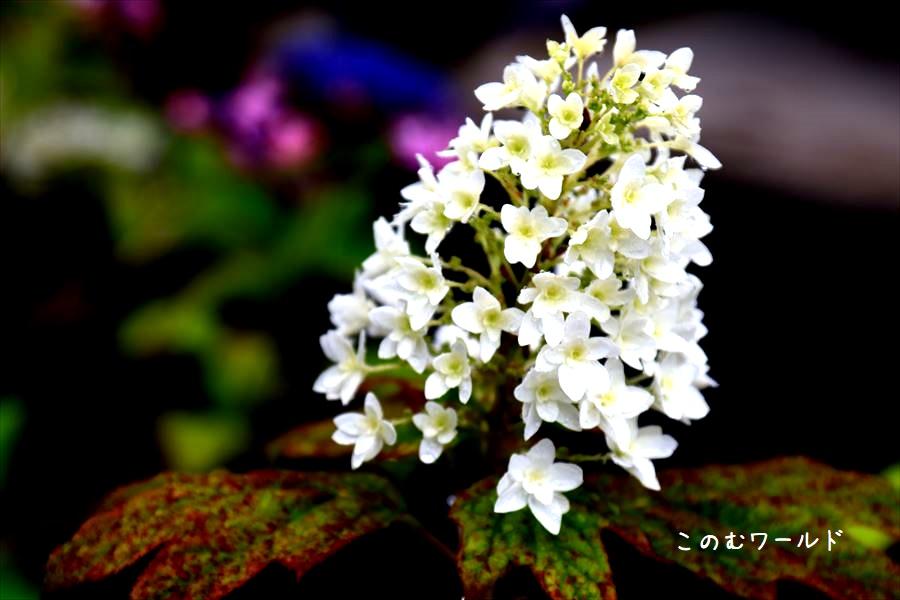 三光寺 紫陽花