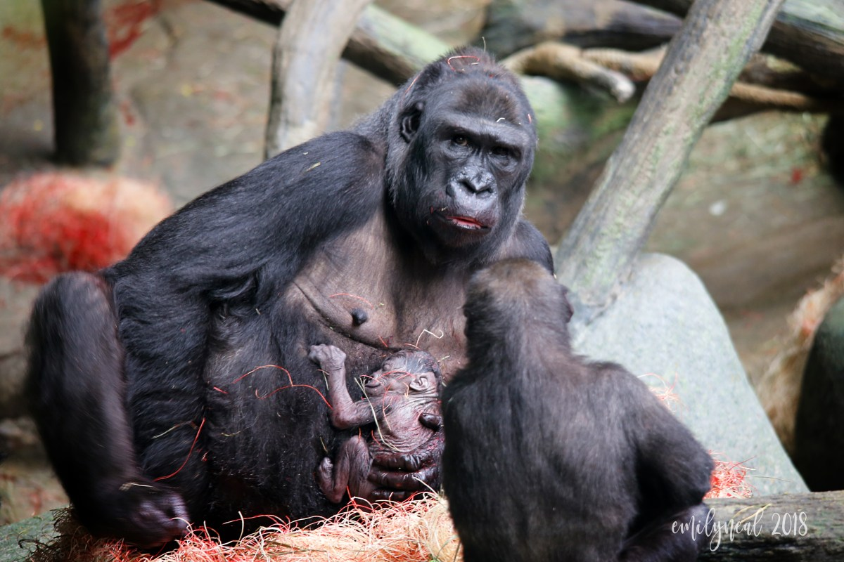 How I ended up at a gorilla's newborn photo shoot