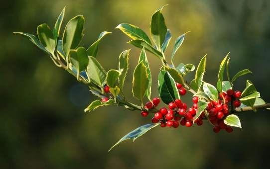 Photo of holly branch with berries