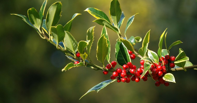 Holly berries are deadly . . . right?