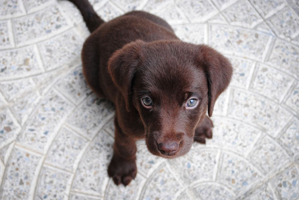 Cute brown puppy looking at camera; is chocolate poisonous for dogs