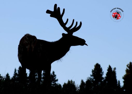Elk at Yellowstone National Park in Montana