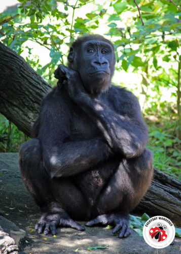 Gorilla World exhibit at the Cincinnati Zoo