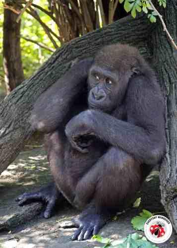 lowland gorilla at the Cincinnati Zoo
