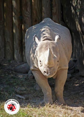 Seyia the Black Rhino at the Cincinnati Zoo