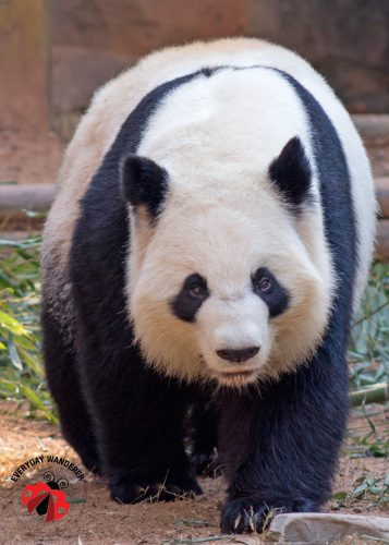Giant panda at Zoo Atlanta