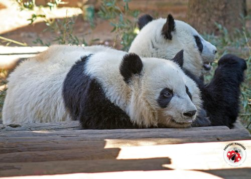 Zoo Atlanta's giant panda twins Mei Lun and Mei Huan