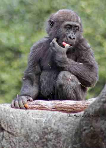 Baby gorilla at the Atlanta Zoo